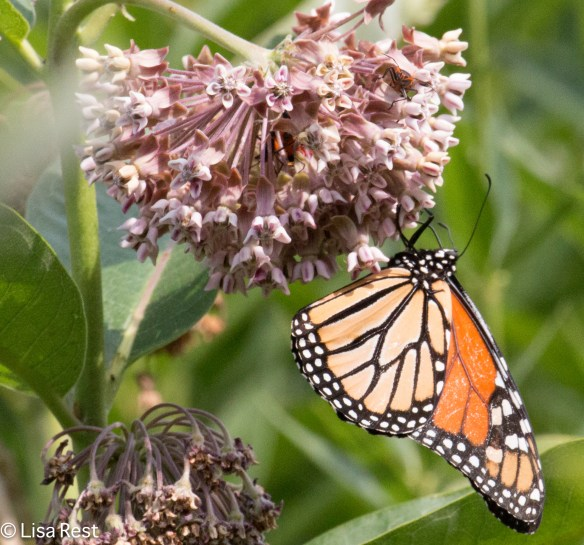Monarch on Swamp Milkweed Lurie Millennium 7-22-15-7930