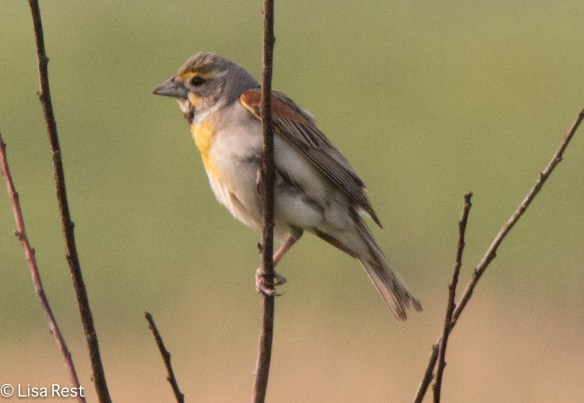 Young male Dickcissel, Goose Lake Prairie, 7-4-15
