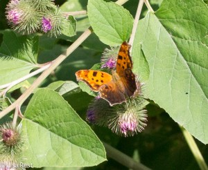 Eastern Comma Butterfly Portage 8-2-15-1308