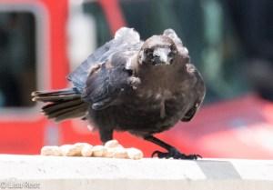 Crow 8-19-15-9321