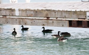 Geese under dock Yacht Club 8-14-15-8977
