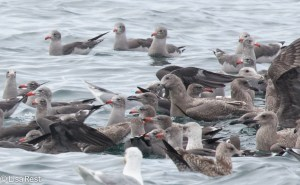 Gulls2 9-17-15-1590