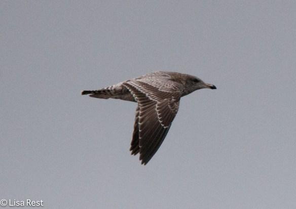 First-Cycle California Gull 9-17-15 -2188