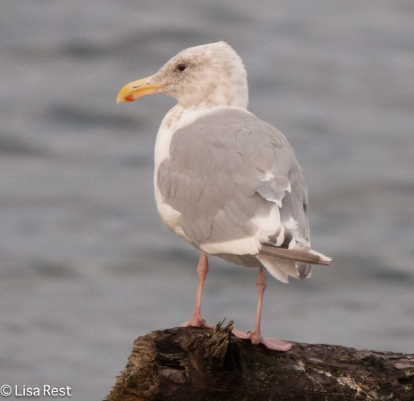 Hybrid Glaucous Wing-Western Gull 9-17-15 -2255