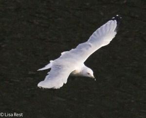 Ring-Billed Gull 9-14-15 -1673
