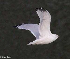Ring-Billed Gull 9-14-15 -1686