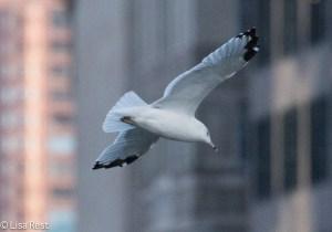 Ring-Billed Gull 9-14-15 -1701