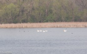 Pelicans and Cormorants McGinnis 4-23-2016-6789