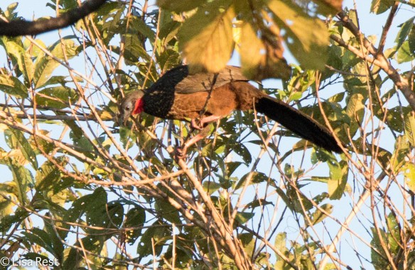 Speckled Chachalaca 7-5-2016-4961