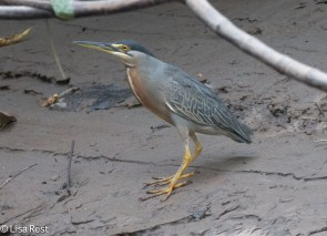 Striated Heron 7-06-2016-5204
