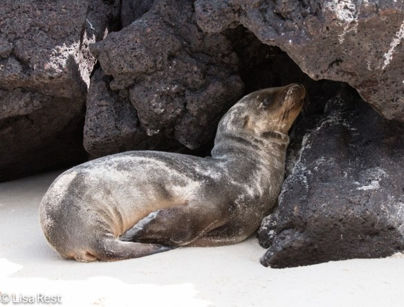 galapagos-fur-seal-7-11-16-7360