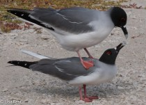 swallow-tailed-gulls-7-11-16-7760