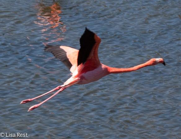 american-flamingo-07-13-2016-9067