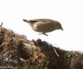 green-warbler-finch-07-13-2016-8919