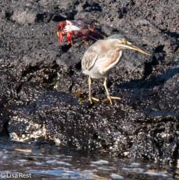 striated-heron-and-sally-lightfoot-crab-7-12-16-8334