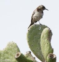 floreana-mockingbird-07-14-2016-6070