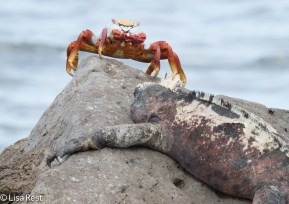 sally-lightfoot-crab-and-marine-iguana-07-14-2016-5662