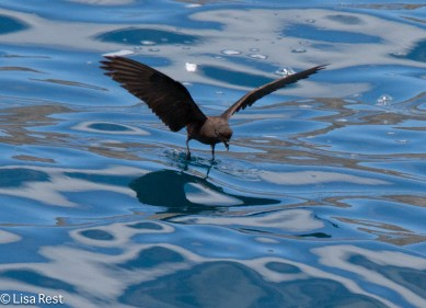 wedge-rumped-storm-petrel-07-14-2016-5857