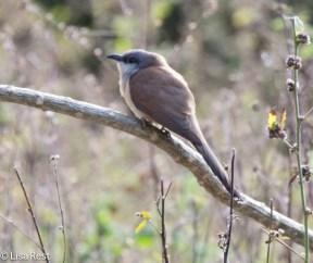 dark-billed-cuckoo-07-15-2016-6634