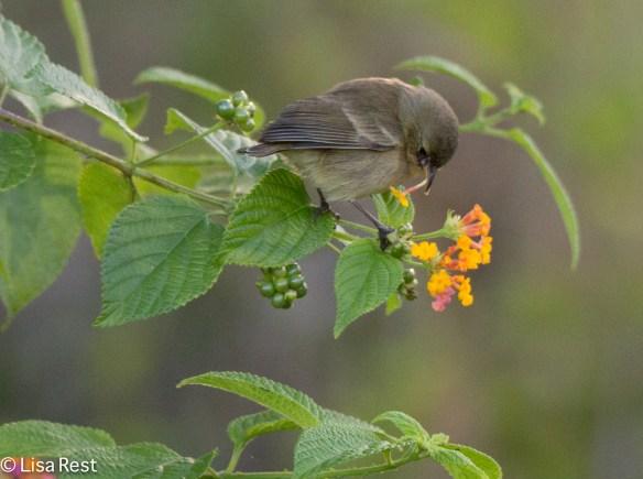 gray-warbler-finch-07-15-2016-6352