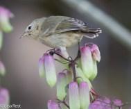 gray-warbler-finch-07-15-2016-6684