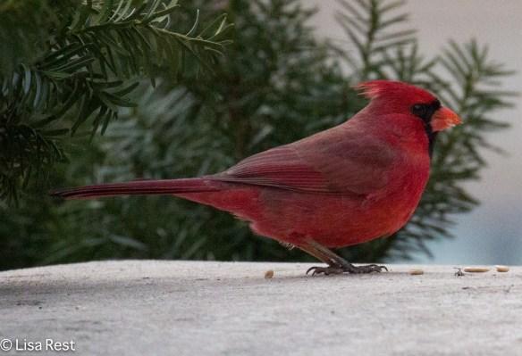millennium-park-cardinal-12-28-16-5958