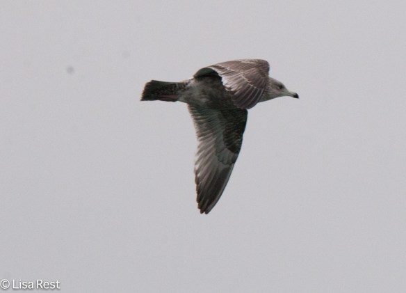 first-year-herring-gull-gull-frolic-2-11-17-8158