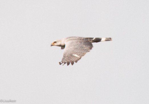 Gray-Lined Hawk 3-13-17-2017