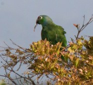 Red-Lored Parrot 3-13-17-1092