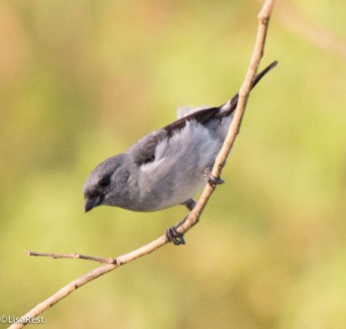 Plain-Colored Tanager 3-13-17-2088