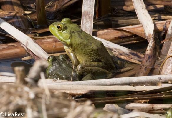 Bullfrog 4-15-17-0899