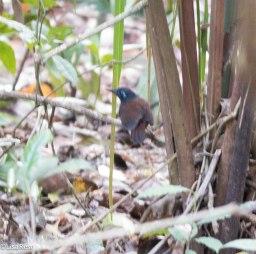 Chestnut-Backed Antbird 3-14-17-2216