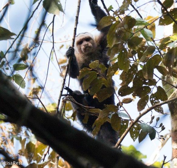 Mantled Howler Monkey 3-14-17-2280