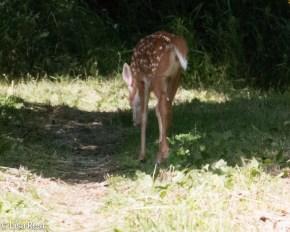 Bambi 6-25-17-0743