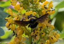 Bee in Wild Senna 07-15-17-1584