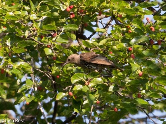 EUST Berries Portage 08-05-17-7181