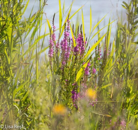Wildflowers Big Marsh 07-30-17-6958
