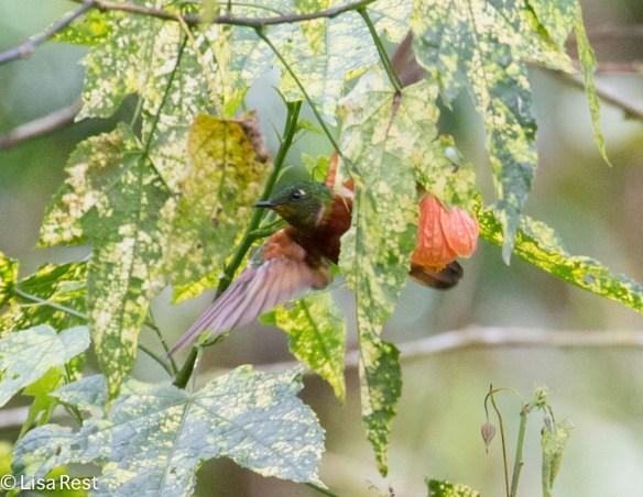 Chestnut-Breasted Coronet 11-21-17-0501