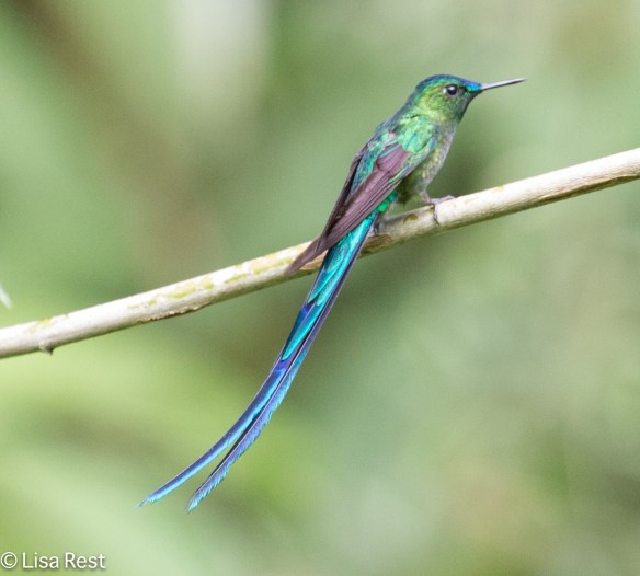 Long-tailed Sylph 11-25-17-0817