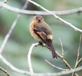 Cinnamon Flycatcher 11-21-2017-0521