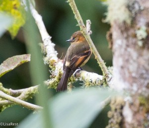 Cinnamon Flycatcher 11-21-2017-0545