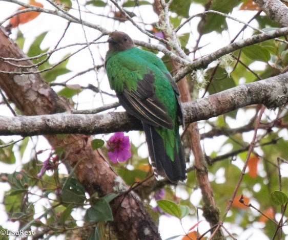 Crested Quetzal 11-21-2017-9539
