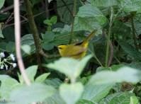 Black-Crested Warbler San Isidro 11-23-17-0708