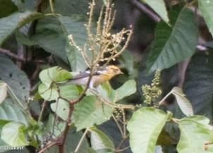 Blackburnian Warbler 11-24-2017-0884