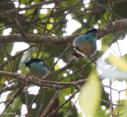 Blue-browed Tanager 11-24-2017-0969