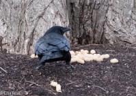 Crow 02-25-2018-6331