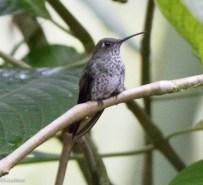 Many-spotted Hummingbird 11-24-2017-1554
