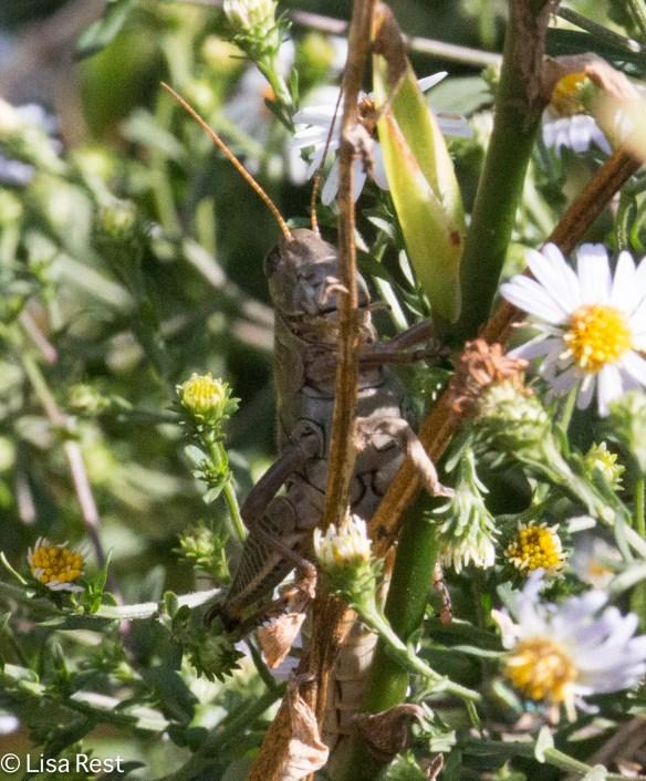 Grasshopper 9-9-18-9582