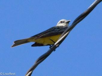 Tropical Kingbird 02-23-2016-4230