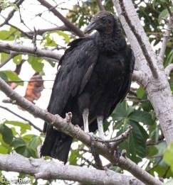Black Vulture 02-25-2016-3152